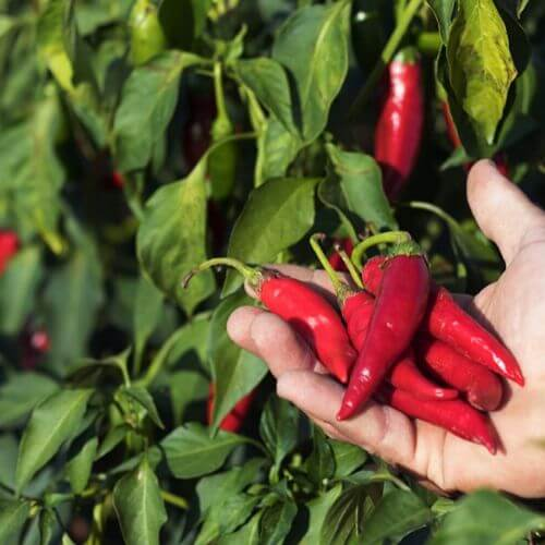 red chilly suppliers